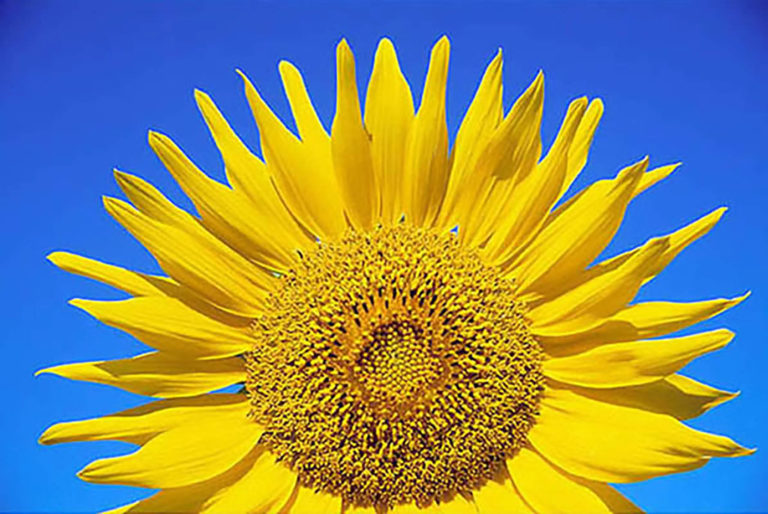 66GS-053 Mezzo Sunflower-2-